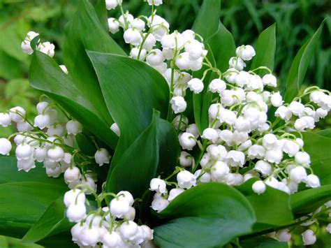 lily of the valley auntie dogma s garden spot