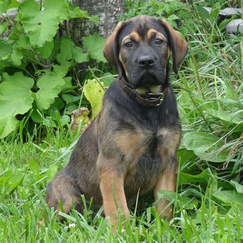 where to buy puppies in nyc mastador mastador breeds picture