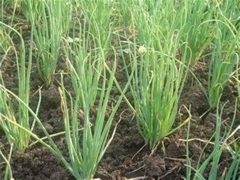 piantare cipolle in vaso coltivazione cipolle coltivazione ortaggi piantare cipolle
