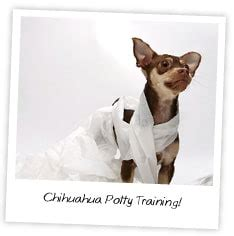 how to house train a chihuahua chihuahua puppy training tips