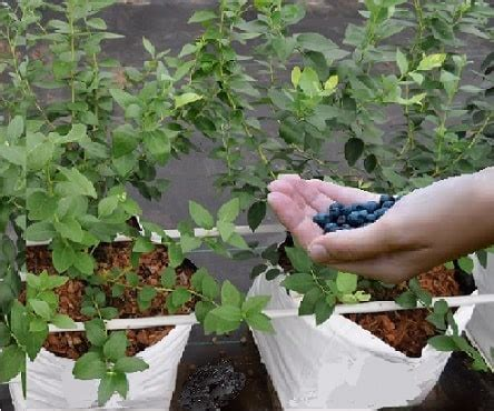 hydroponic blueberries grow  blueberry varieties