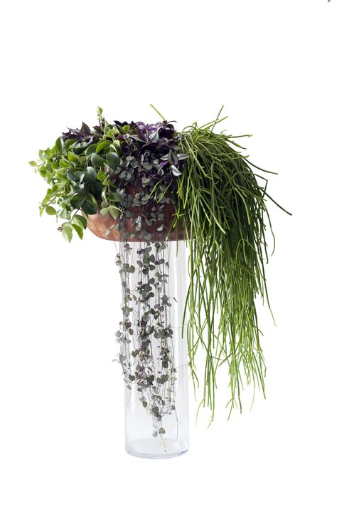 september  haengende zimmerpflanzen zimmerpflanzen des