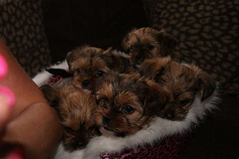 shih tzu mixed with yorkie for sale yorkie mixed breeds breeds picture