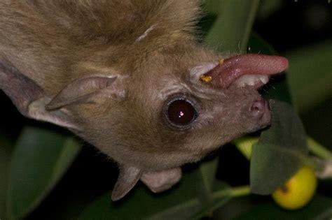 fruit bats josh s fruit bats