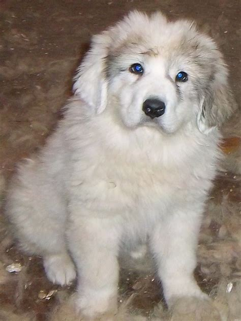 great pyrenees puppies ohio great pyrenees at gold strike boer goats