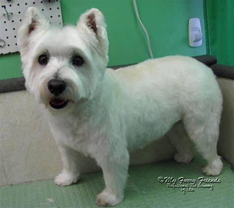 pictures of haircuts for westies short westie cut google search animals pinterest