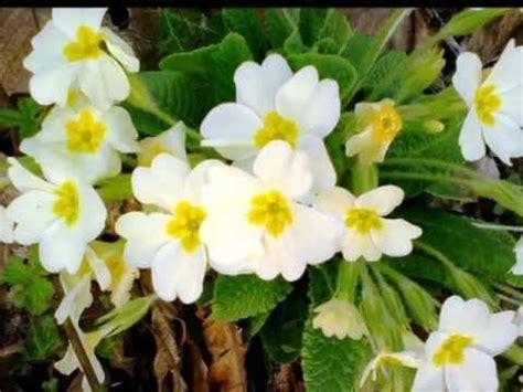 la primula fiori un fiore al mese febbraio primula