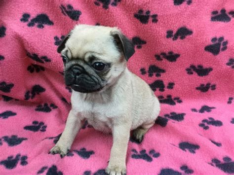 pug advert 2016 now ready to leave kc registered pug boy guisborough pets4homes