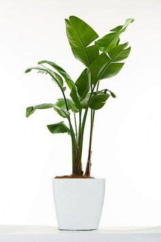 areca palm great indoor house plant  purifies  air