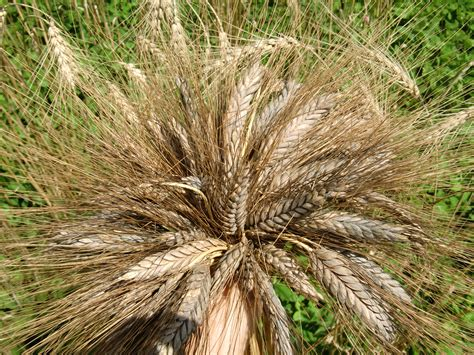 plant awns colrain seed farm summer in the soil