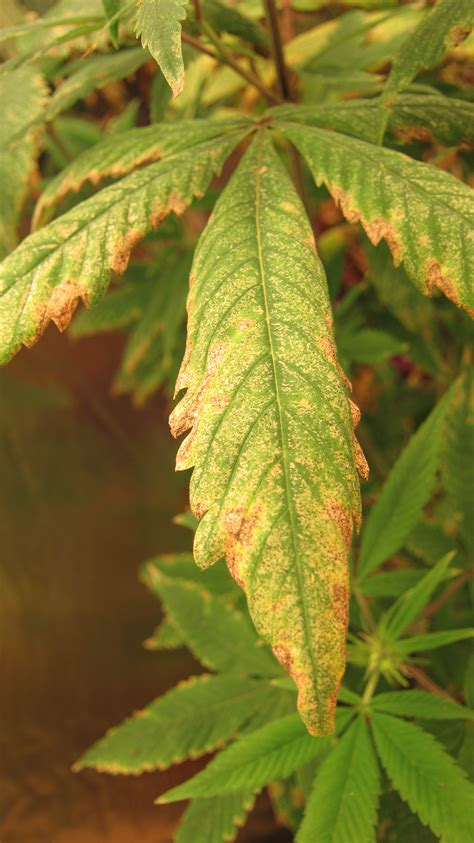 problems that cause marijuana plants to stress pests and nutrient problems on marijuana environmental stress growing marijuana forum by