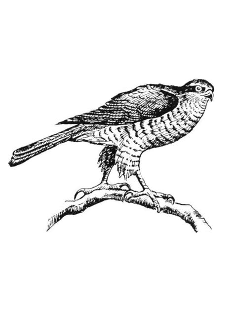 hawk coloring pages   print hawk coloring pages