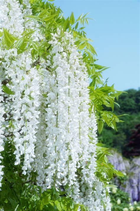 white wisteria wisteria tree white wisteria