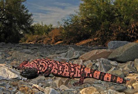 Enciclopedia animal   Animales del desierto - Monstruo de Gila