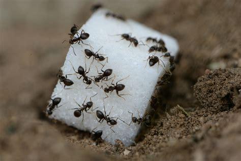 rid  sugar ants phoenix pest control  exterminators