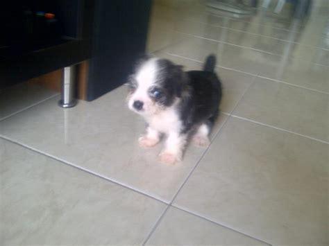boston terrier x shih tzu boston terrier shih tzu puppy adopted 6 years 1 month boshih boston terrier x