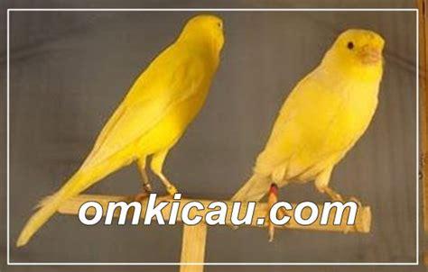 membuat napas kenari panjang berner kenari postur tegap suaranya nyaring klub burung