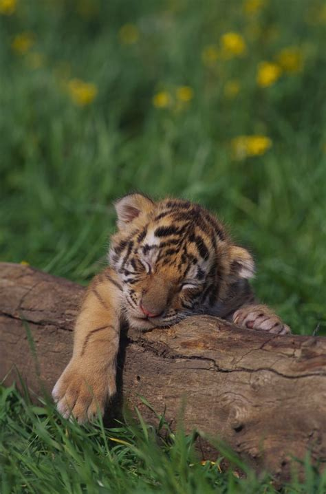 facts about the new year tiger bengal tiger facts for with pictures ehow
