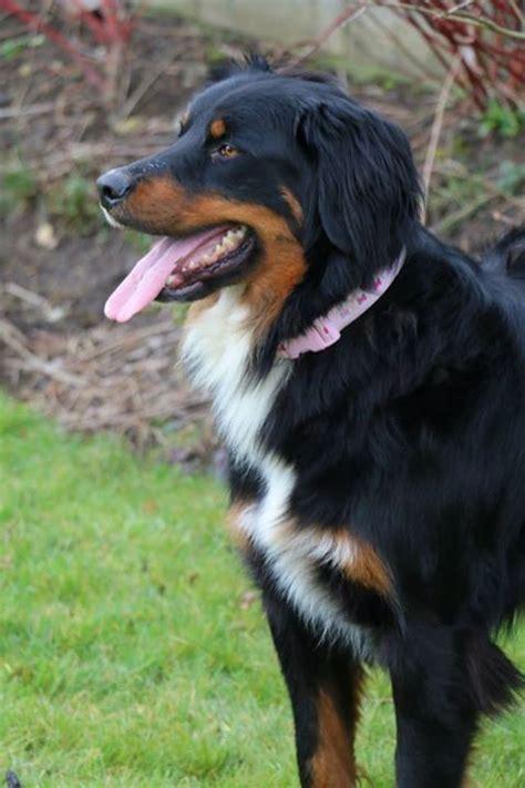 australian setter dog 45 best images about irish setter mixed on pinterest