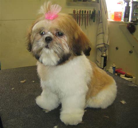 bichon shihtzu puppy cut plush quot teddy bear quot cut puppy life pinterest plush