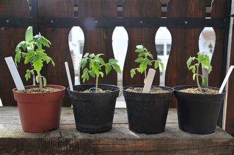 Tomaten Aus Samen Selber Ziehen 5495 by A Wie Anzucht Guide Wie Gem 252 Se Ganz Einfach Aus Samen