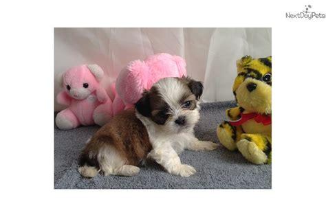 shih tzu boots shih tzu puppy for sale near sioux falls se sd south dakota 8479f26d a961