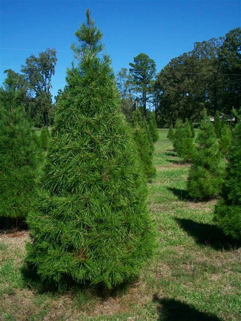 hughes christmas tree farm 5501 linton cutoff road