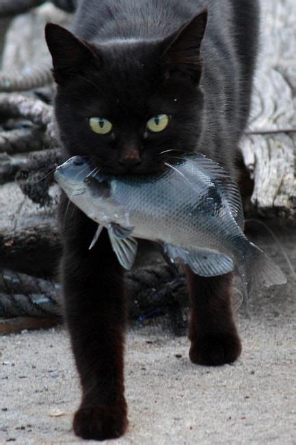 Cat The Fish 181 best cat fish capers images on cats