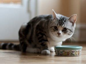 alimentazione naturale per gatti l alimentazione naturale per gatti la dieta barf