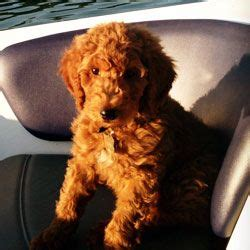 mini goldendoodles raleigh nc 17 best ideas about standard goldendoodle on