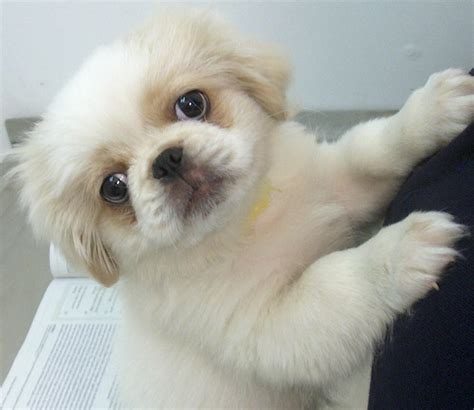 pekingese puppy what breed of is this yahoo answers