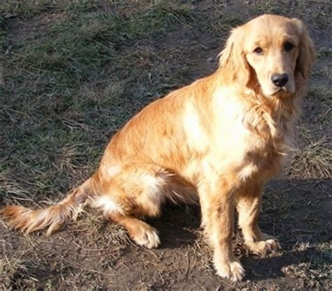 c and s ranch miniature golden retrievers miniature golden retriever breed information and pictures