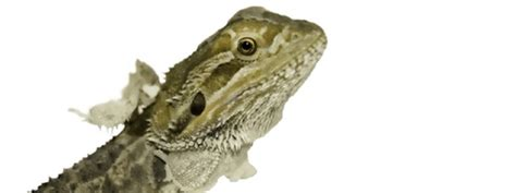 Do Bearded Dragons Shed by What To Do For A Shedding Bearded