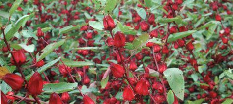 Teh Bunga Rosella Merah rosella decorationplants