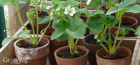 how to grow strawberries successfully in containers