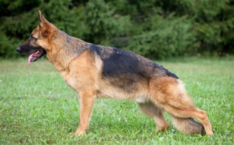 symptoms of hip dysplasia in dogs hip dysplasia in dogs classification causes signs symptoms diagnosis treatment
