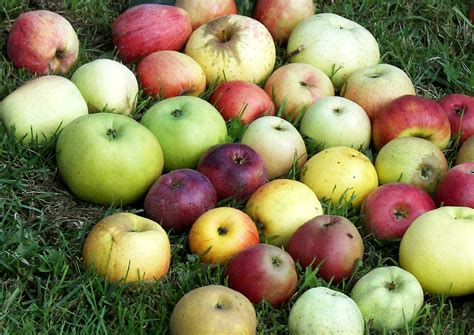 äpfel Alte Sorten 2951 by Alte Apfelsorten 252 Ber Hundert Jahre Alte Sorten