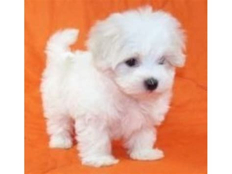 maltese puppies for sale louisiana adorable pedigree maltese puppies for sale animals berwick louisiana