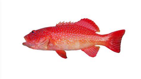 Ikan Kerapu Mulut Tikus Beku jual ikan laut segar di jakarta jual ikan laut beku