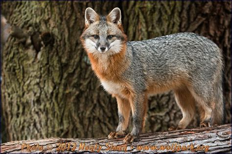 fox hybrid fox coyote hybrid www pixshark images galleries with a bite