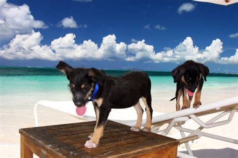 puppy island turks and caicos potcake puppies in turks and caicos pot cake puppies
