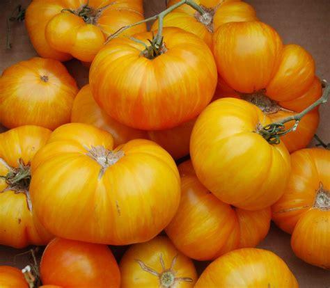 Bigyellow Lookup Big Yellow Zebra Tomato