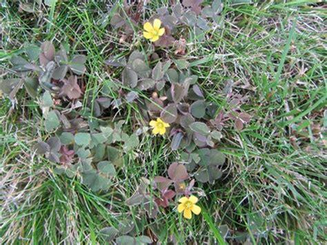 Klee Vom Rasen Entfernen 5163 by Sauerklee Im Rasen Unkraut Im Rasen Unkraut Rasen