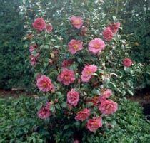 come curare le roselline in vaso camelia japonica consigli domande e risposte su come