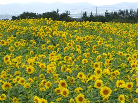 sunflower farm ozora cho sunflower farm japan on tripadvisor address