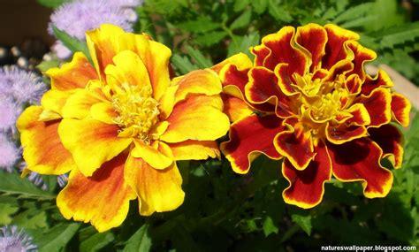 marigold colors home www ndsu edu