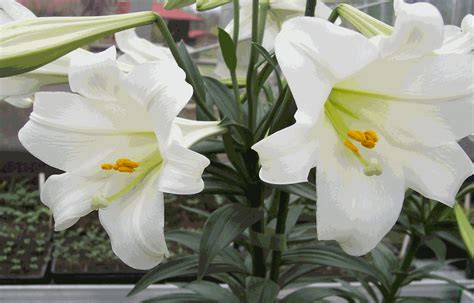 can easter lilies be planted outside saving your easter to plant in your landscape all