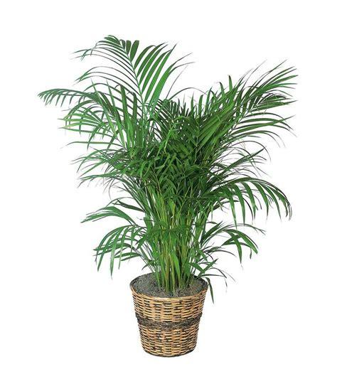 areca palm tf136 3 79 16