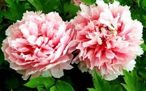 Leek Flower - peony flower macro photography wallpaper 5 flower wallpapers free download wallpapers