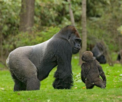 Western Lowland Gorilla   Animal Wildlife